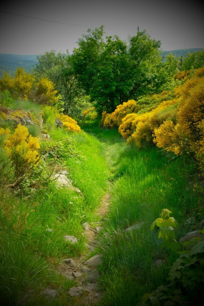 sentiers de randonnées parmi les genêts